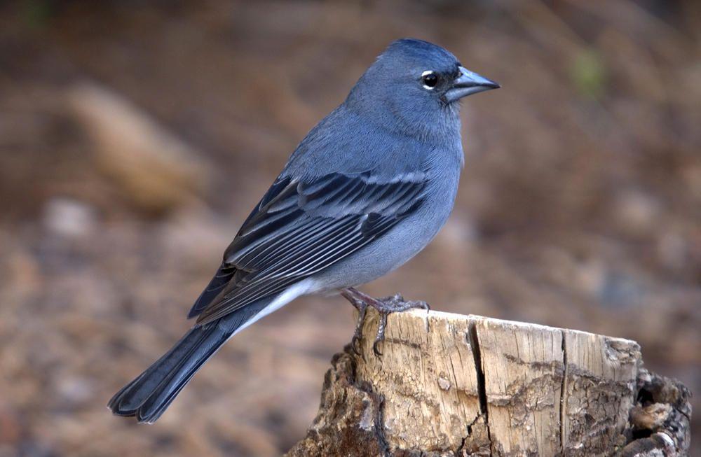 """Resultado de imagen de El pinzón azul de Gran Canaria está """"en peligro"""", según un informe de BirdLife"""