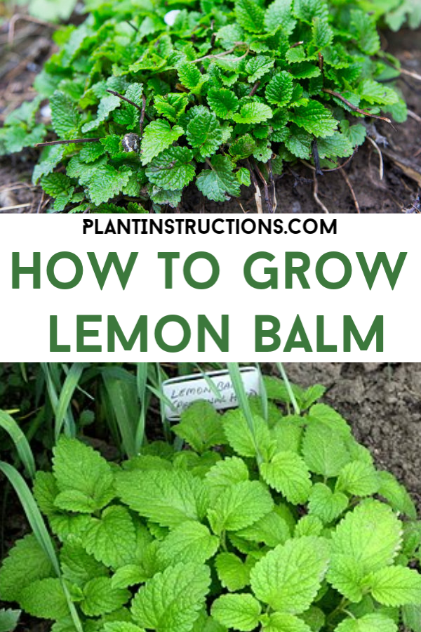 How to Grow Lemon Balm is part of Lemon balm plant - Keep reading this easy to follow guide on how to grow lemon balm in your garden!