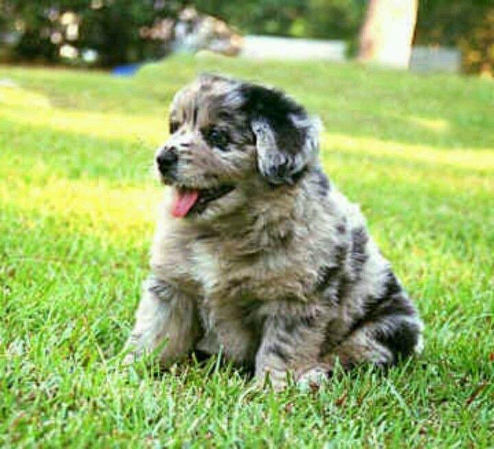 Beautiful Australia Chubby Adorable Dog - f79bf9f21453315e362cde458218170b  You Should Have_405292  .jpg
