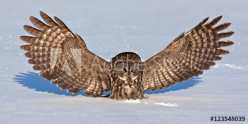 Great grey owl (Strix nebulosa) isolated on a white background hunting and catching its prey on a snow covered field in Canada