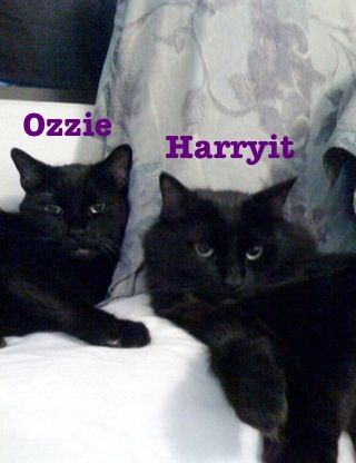 Our Beautiful Black Male Cats ~ Ozzie & Harryit. This Photo Is Dedicated To The Memory Of Ozzie, On Behalf Of Our Baby/Ragdoll/Fur-Bagger/Snuggle-Bum  Harryit ~ DIY Boards