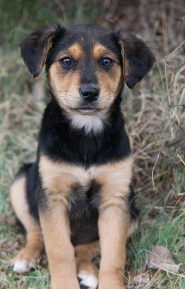 Bernese Mountain Dog And Lab Mix : bernese, mountain, Adopted!, Justine, Bernese, Mountain, Dog/Labrador, Retriever, Westport,, Weeks, Labrador, Retriever,, Dogs,