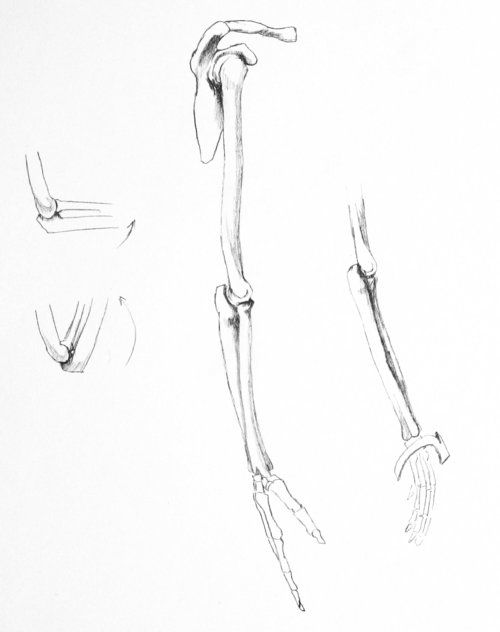 Bones Of The Right Arm And Hand Arms Hands Forearms Pinterest Arms