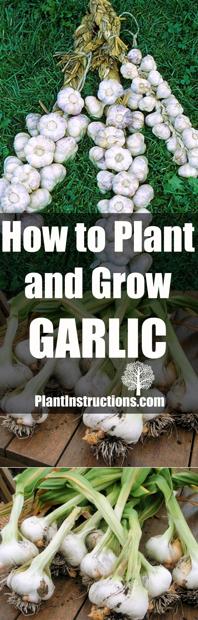 How To Plant And Grow Garlic Hydroponic Gardening 400 x 300