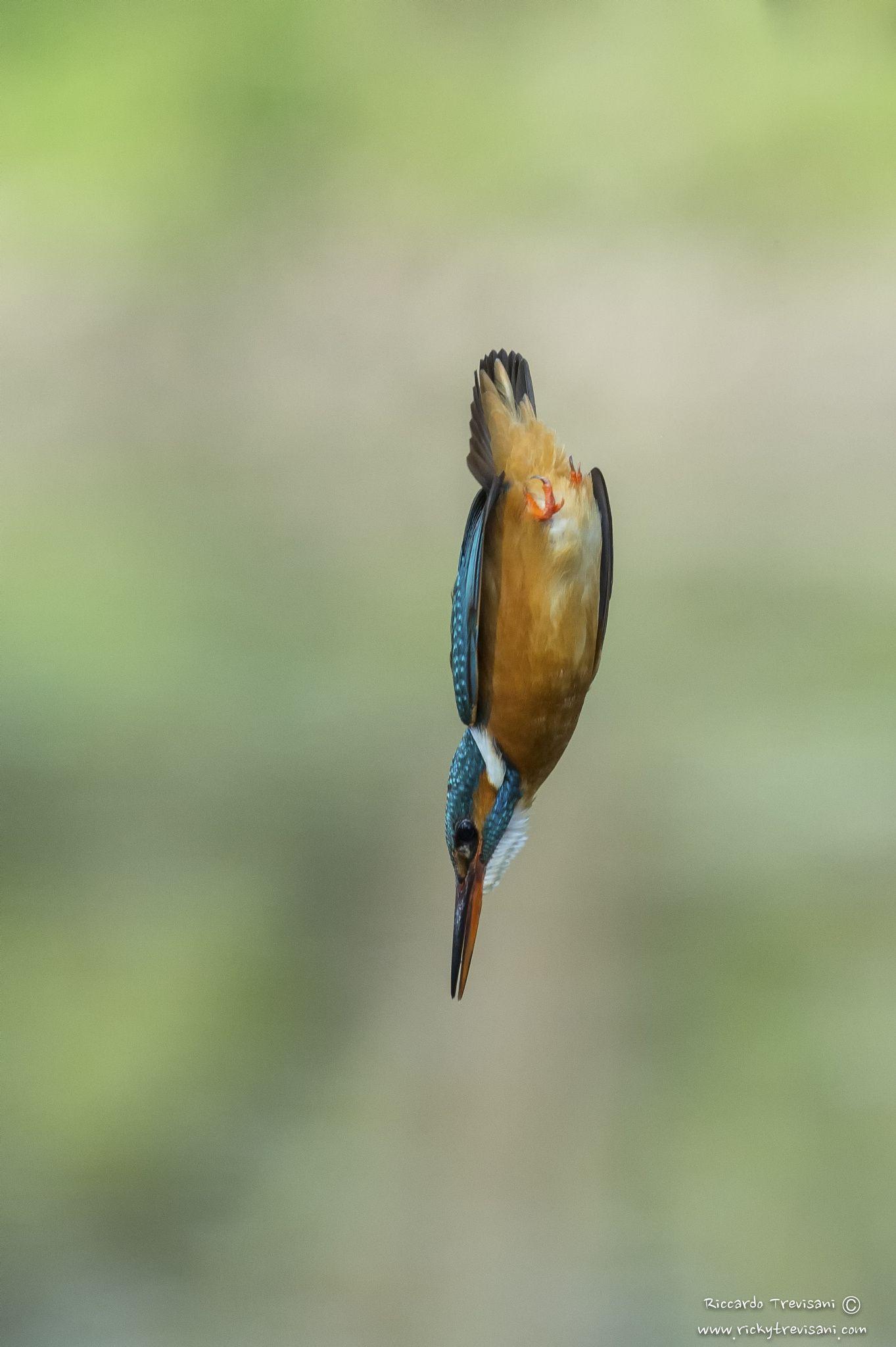 the bullet null Kingfisher, Animals, Bullet