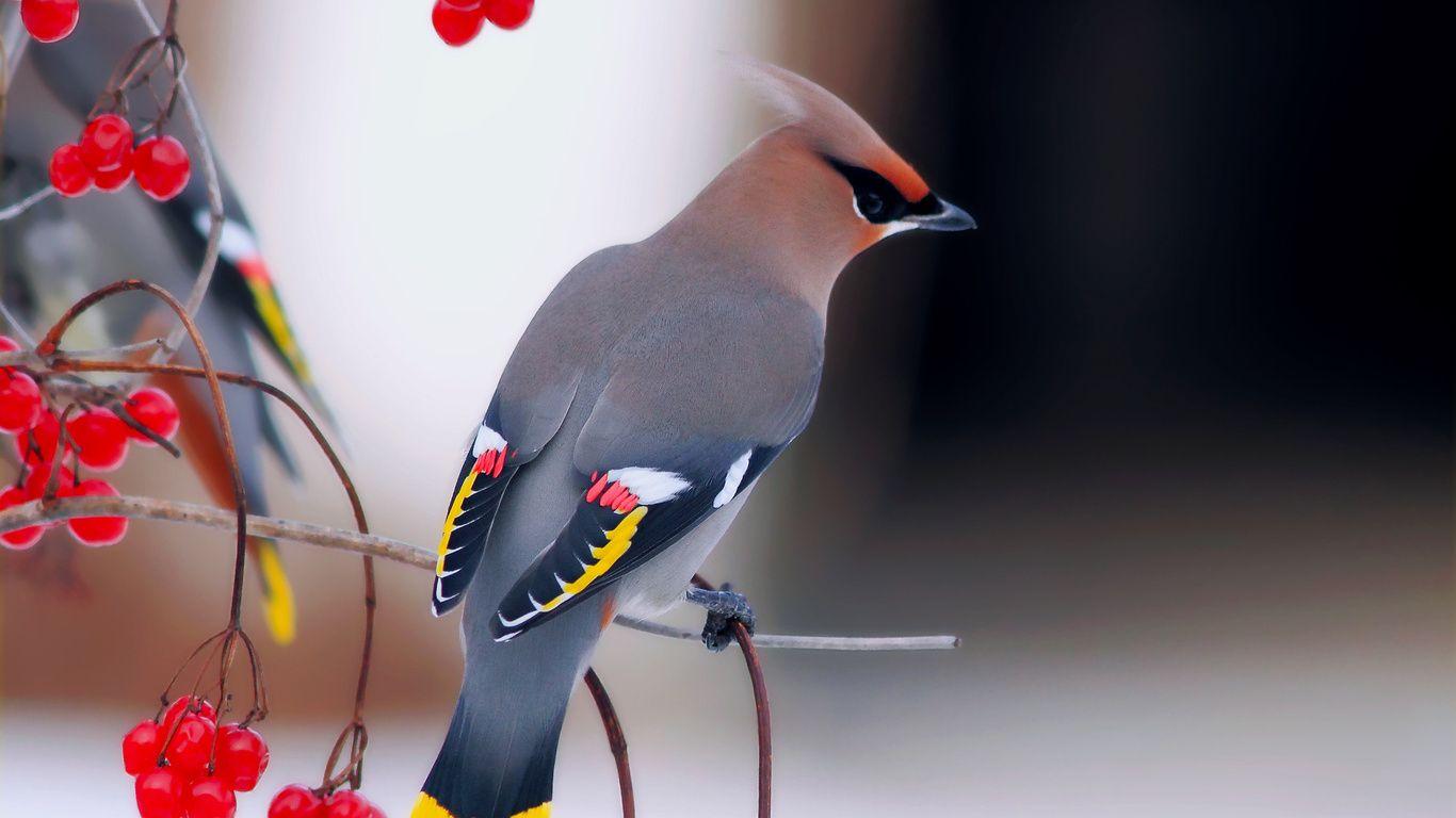 свиристель птица фото: 14 тыс изображений найдено в Яндекс ...