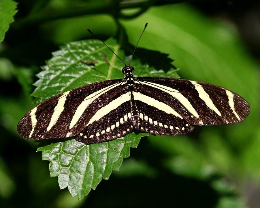 Kostenloses Bild Auf Pixabay Kuba Schmetterling Gestreift Schmetterling Bilder Kostenlose Bilder