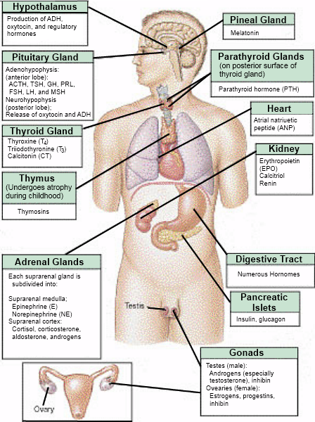 The endocrine system which hormones are produced where hypothalamus pituitary testes ovaries etc enlightened pinterest also rh