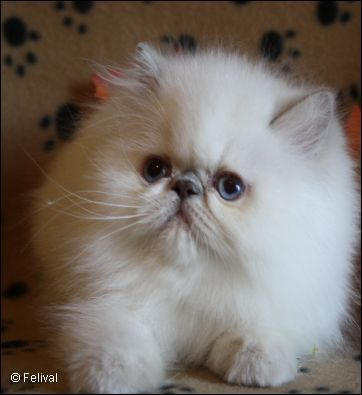 10 Most Popular Flat Faced Cat Breeds In The World Cute Cats Dogs Cute Cats Kittens Himalayan Kitten