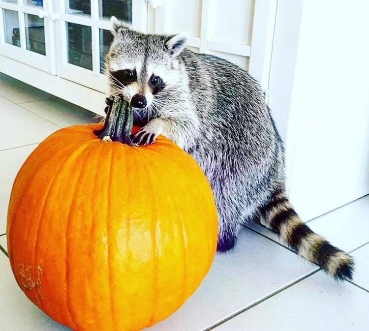 Pumpkin the Raccoon| Image:Rosie Kemp