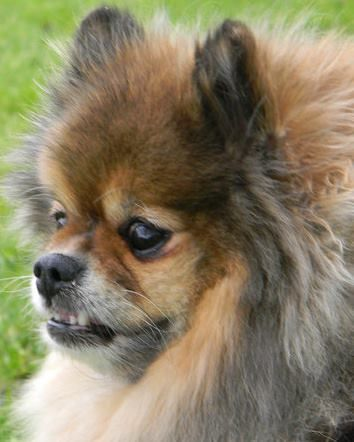 Do You Think That She Ll Notice My Underbite Pets Pomeranian Lovers Animal Planet