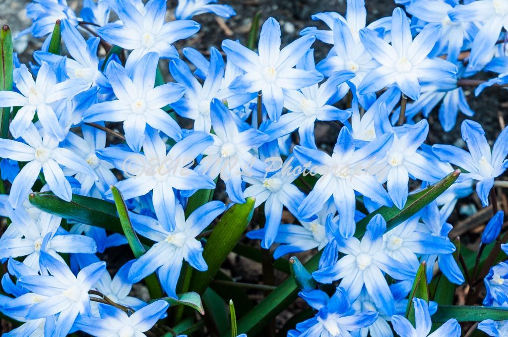 Plant Blue Spring Flowers Bulbs Garden Early Spring Flowers