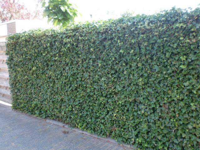 schutting van klimop | tuin / buitenmuur in 2019 - garden en plants