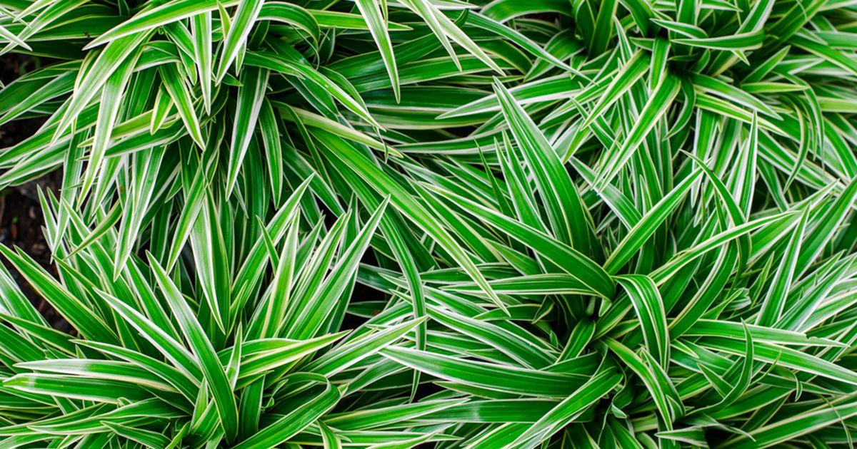 ribbon plant chlorophytum comosum landscaping chlorophytum plante interieur. Black Bedroom Furniture Sets. Home Design Ideas