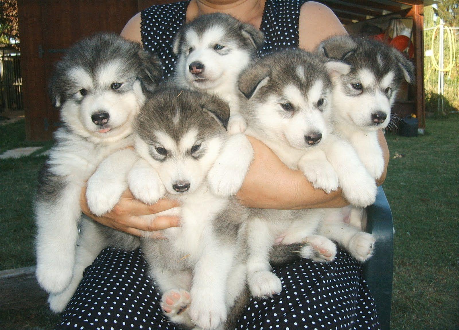 Alaskan Malamute Puppies Husky Puppies For Sale Malamute