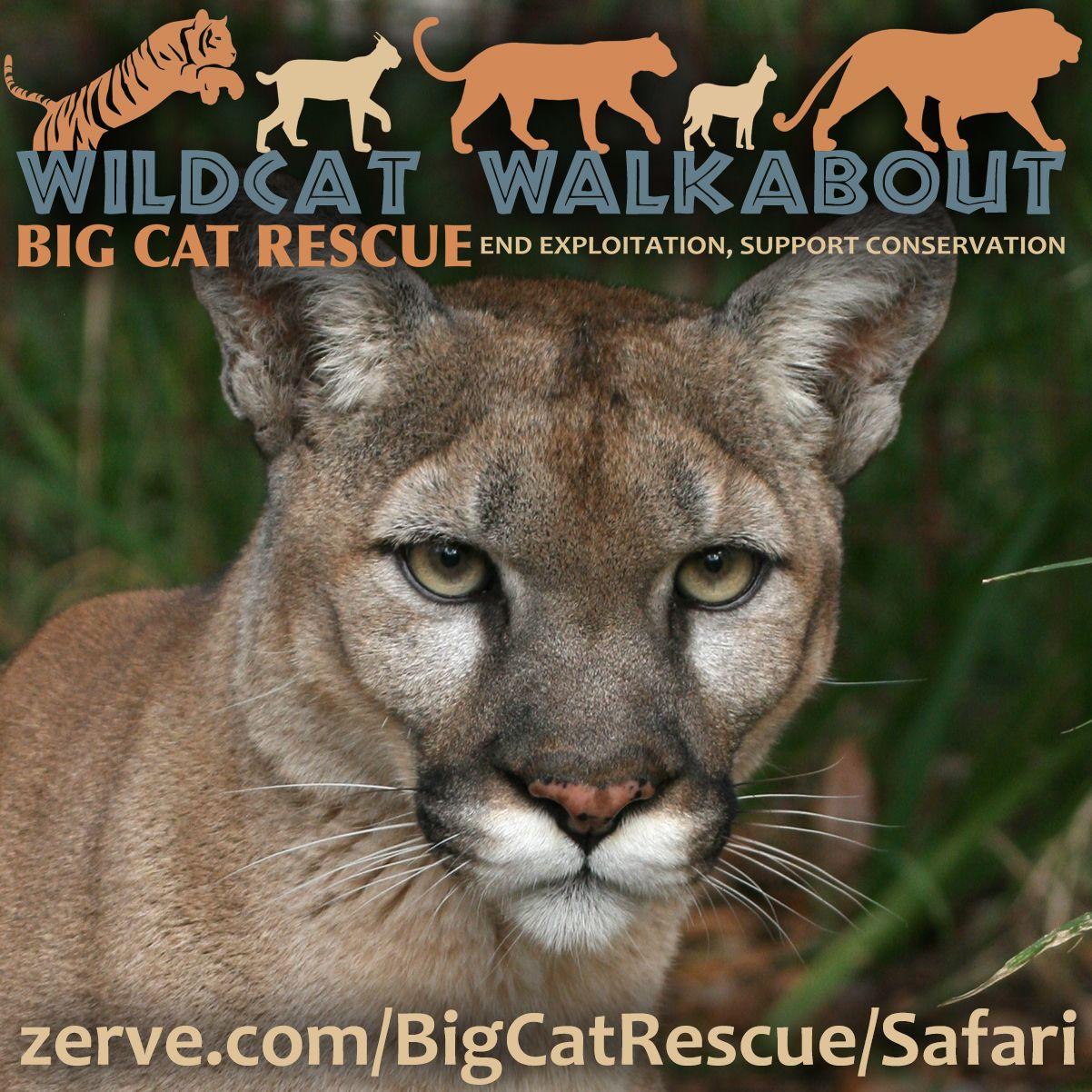 Safari Days Wild cats, Big cat rescue, Big cats