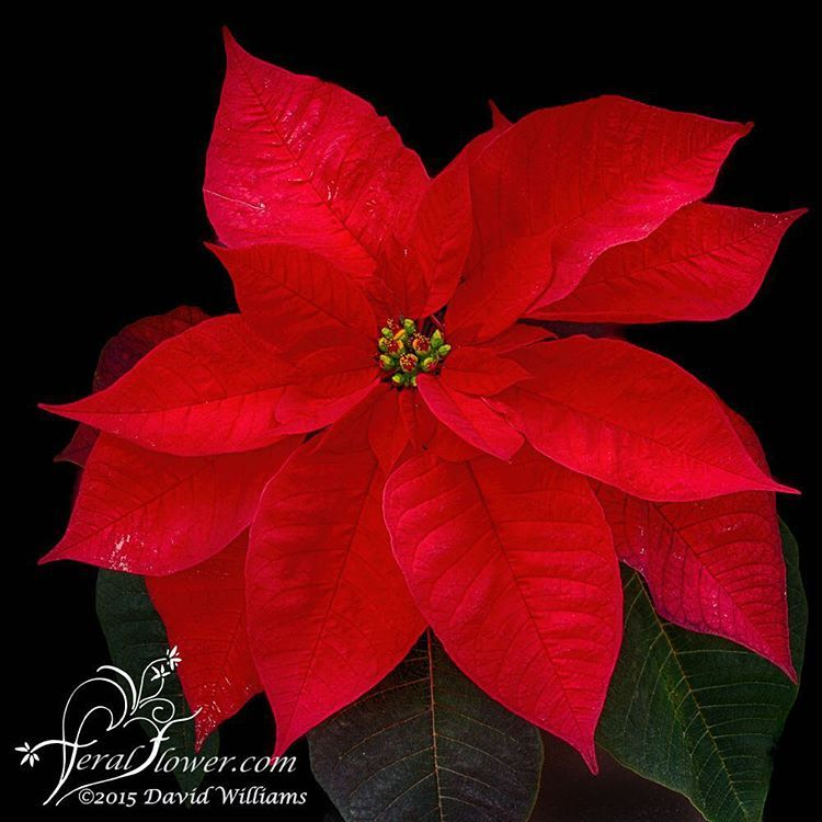 David Williams On Instagram I Ve Taken So Many Photos Of The Unusual Poinsettias And Realized I Haven T Taken One Of Th Red Flowers Poinsettia Garden Center