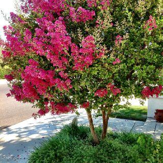 Pink Tree in my yard