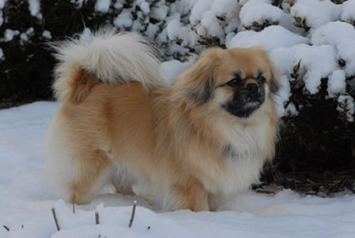 Tibetan Spaniel Dog Breed Puppies Epagneul du tibet