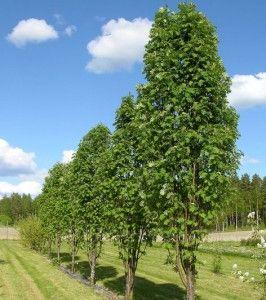 Sorbus aucuparia Fastigata / Pylväspihlaja / Pelarrönn. FinE-träd. 5-10 m.