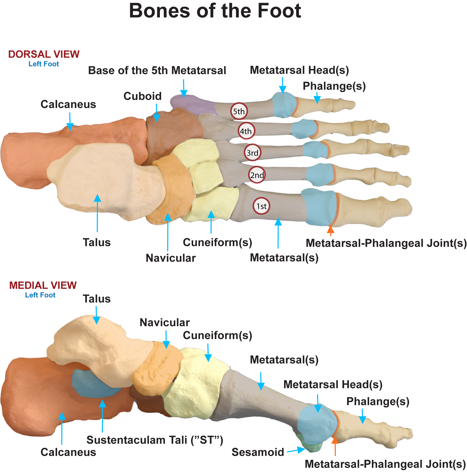 Bones & Joints of the Foot | M.J.\'s anatomy | Pinterest | Medicine