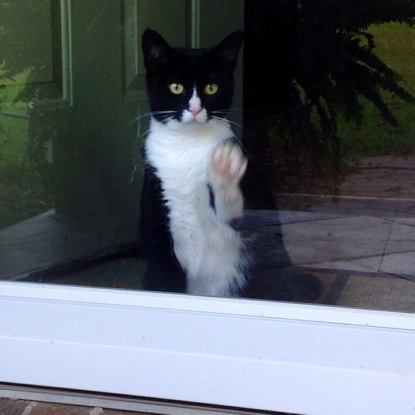 """Not to be outdone in the game cats call: """"Getting the Human's Attention""""...at any price Here we have one of the masters of the game. Presenting Kinsey at the screen door trying oh-so-politely to get my friend, Karen P's attention. Guess what happened next."""