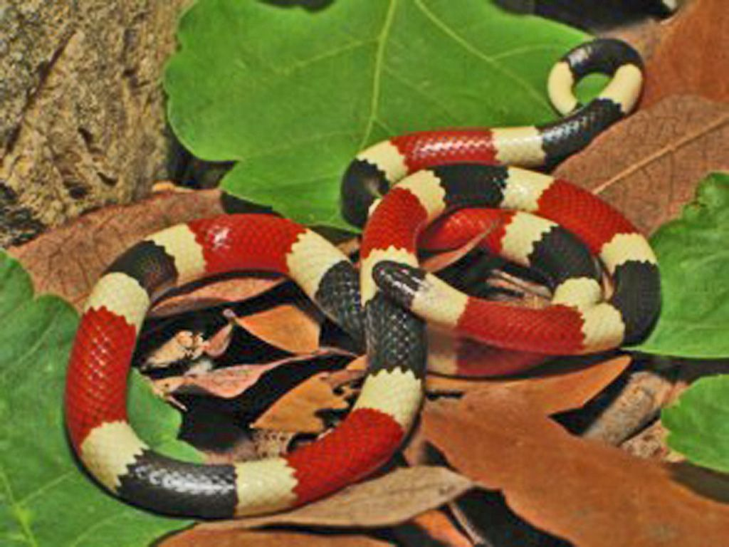 """CORAL SNAKE - remember """"Red touch yellow, kill a fellow ..."""