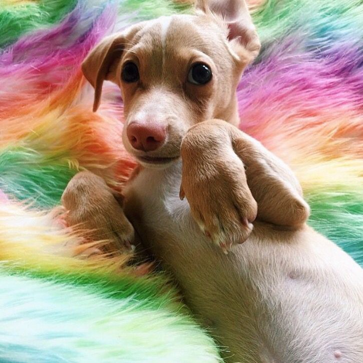Beagle weenie mix dachshund puppies dachshund puppy