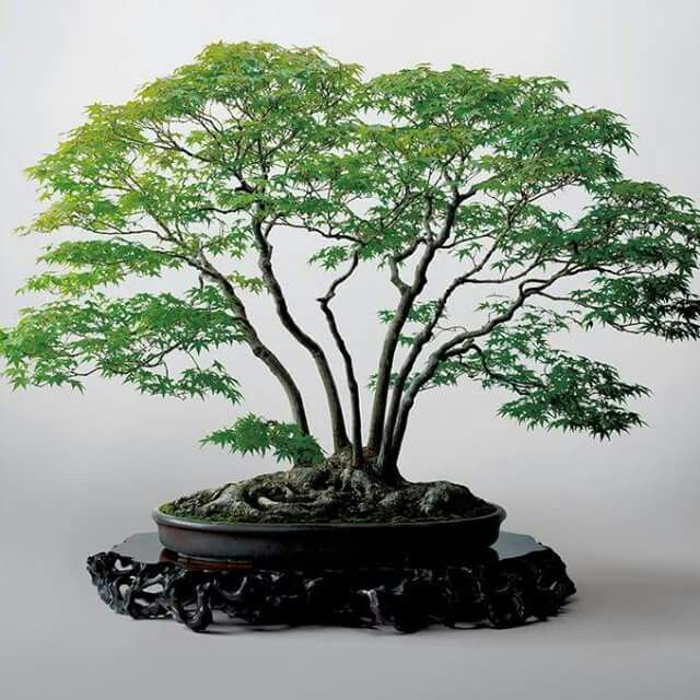 de kabudachi bonsai tronco multiple multi trunk or clump form bonsai. Black Bedroom Furniture Sets. Home Design Ideas