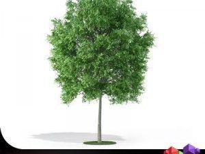 Tree Deciduous CGAXIS 07