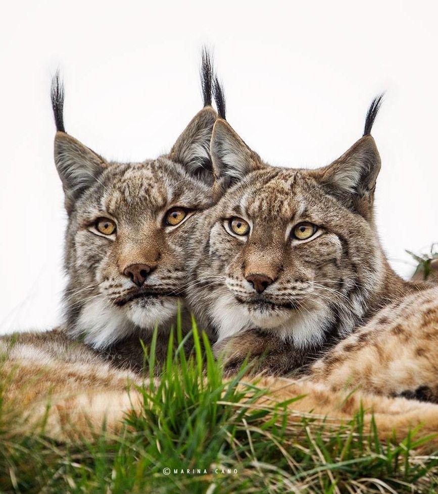 """Beautiful-wildlife: """" Lynx Lynx By Marina Cano """" (With"""