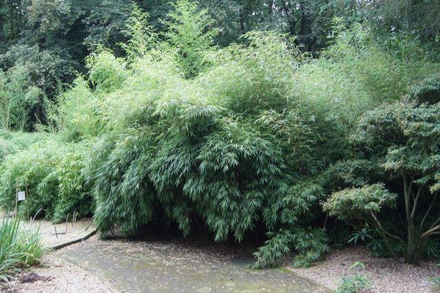 Fargesia Rufa Fragesia Rufa Pinterest Garden Design Jungle