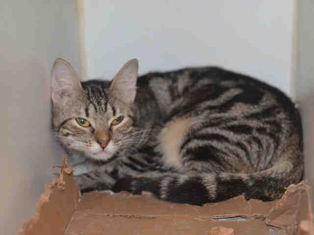 *** TO BE DESTROYED 08/04/17 ***JUDE A1120231 is a 7 month old shy girl who needs a patient purrson, owner surrender reason stated was TOO MANY P.