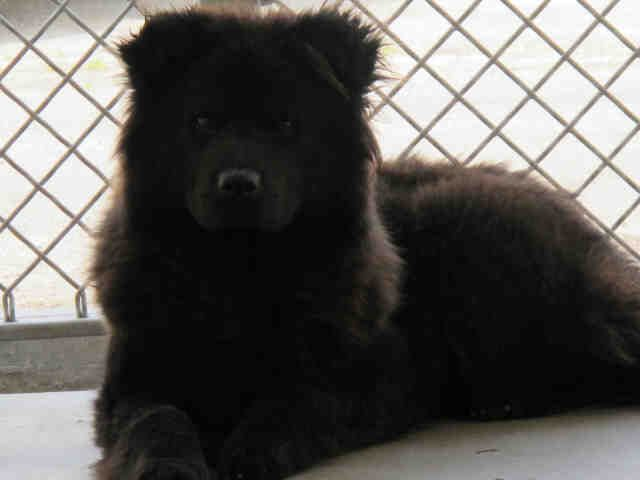 This Dog Id A4554768 I Am Described As A Female Black Chow Chow