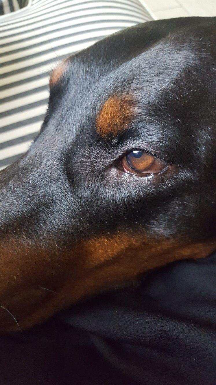Beauty Doberman Dobelover Doberman Love Doberman Dogs