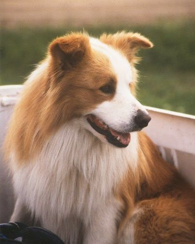 Red And White Border Collie Red Border Collie White Border