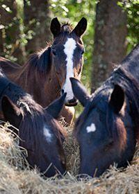Iron Gait Percheron Rescue Horse Rescue Horses Percheron