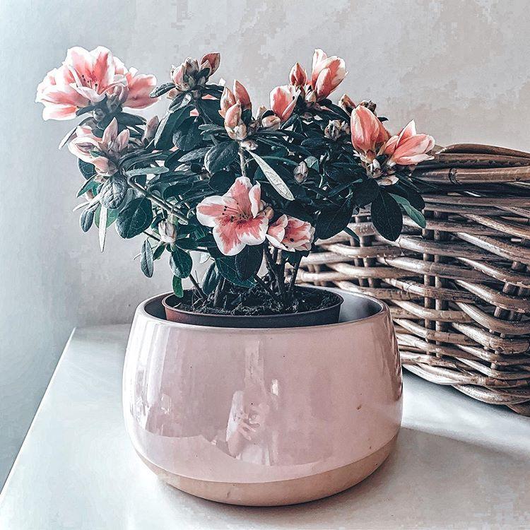 Pink Spring Azalea Flower Plant In 2020 Azalea Flower Planting Flowers Beautiful Flowers