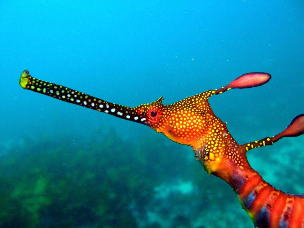 133 best leafy u0026 weedy seadragons images on pinterest sea dragon