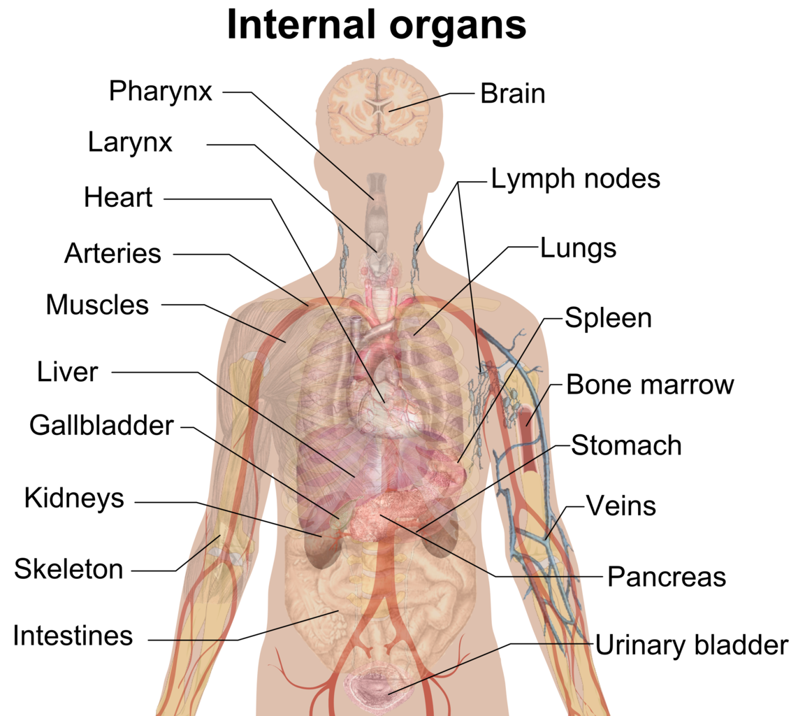 A Diagram Of The Internal Organs Of The Human Body Workshop Two
