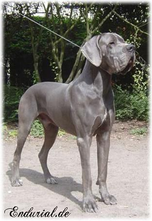 Blue Great Dane // ICh. EuW'08 Enduro vom Haus Wagner | Blue Diablo Great Dane Kennel
