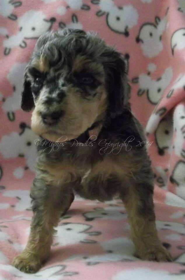 Albany Ny Catahoula Leopard Dog Beagle Mix Meet Reagan A Puppy For Adoption Catahoula Leopard Dog Mix Catahoula Leopard Dog Kitten Adoption