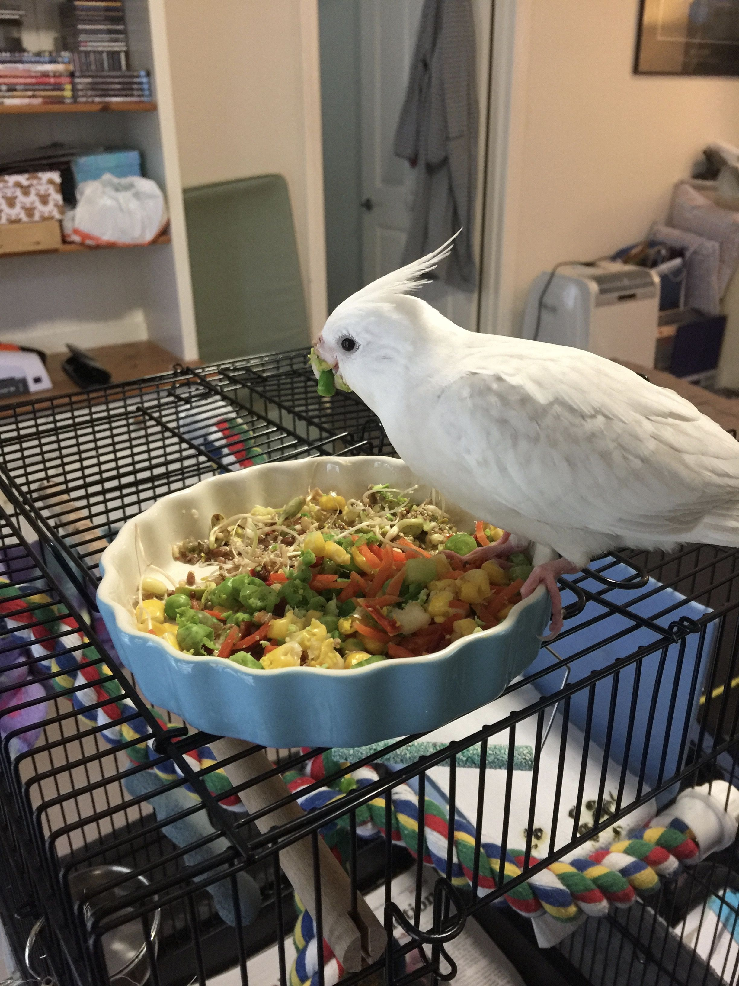 My Cockatiel Eating Vegies And Sprouted Seeds Cockatiel Cute Animals Eat