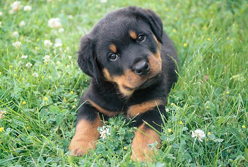 Pup 12 Gr0006 01 C Kimball Stock Rottweiler Puppy Laying On Grass