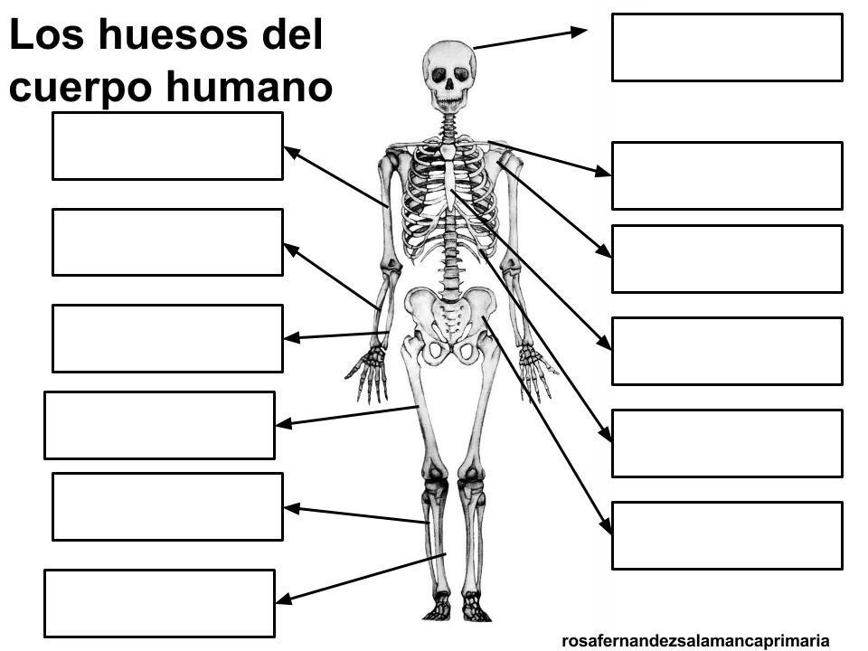 Estudiar la localización y el nombre de estos huesos en el cuerpo ...