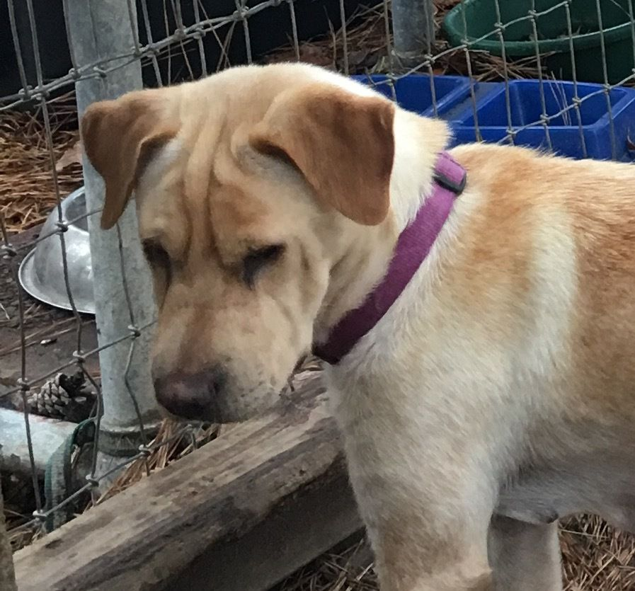 Adopt Miya On Labrador Retriever Mix Labrador Retriever Dogs