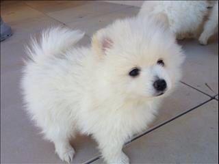 Japanese Spitz X Pomeranian Ancake Pinterest