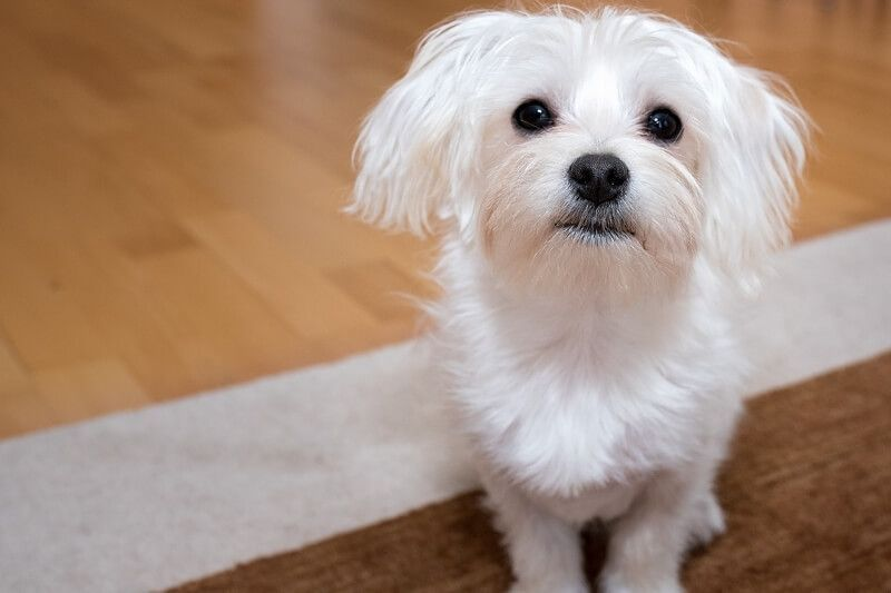6 Astounding Maltese And Children Is It A Good Combination Ideas