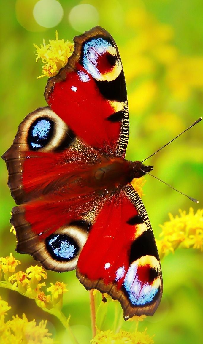 Photo of A colorful peacock butterfly #insects