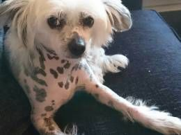 Girl Chinese Crested Bishop Auckland Chinese Auckland